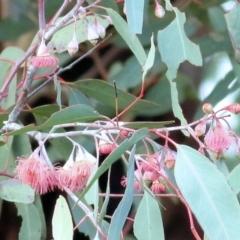 Eucalyptus leucoxylon (Yellow Gum) at Castle Creek, VIC - 18 Jul 2021 by Kyliegw