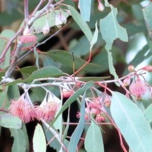 Eucalyptus leucoxylon at Castle Creek, VIC - 18 Jul 2021
