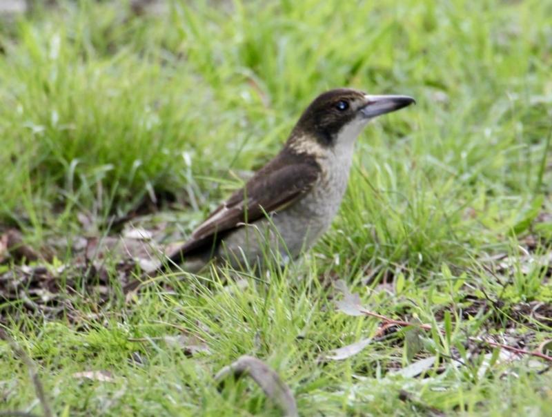 Cracticus torquatus at Springdale Heights, NSW - 18 Jul 2021