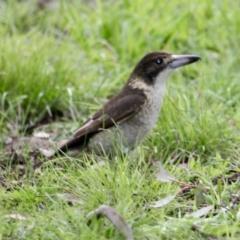 Cracticus torquatus (Grey Butcherbird) at Springdale Heights, NSW - 18 Jul 2021 by PaulF