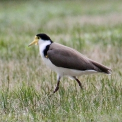 Vanellus miles (Masked Lapwing) at Springdale Heights, NSW - 18 Jul 2021 by PaulF