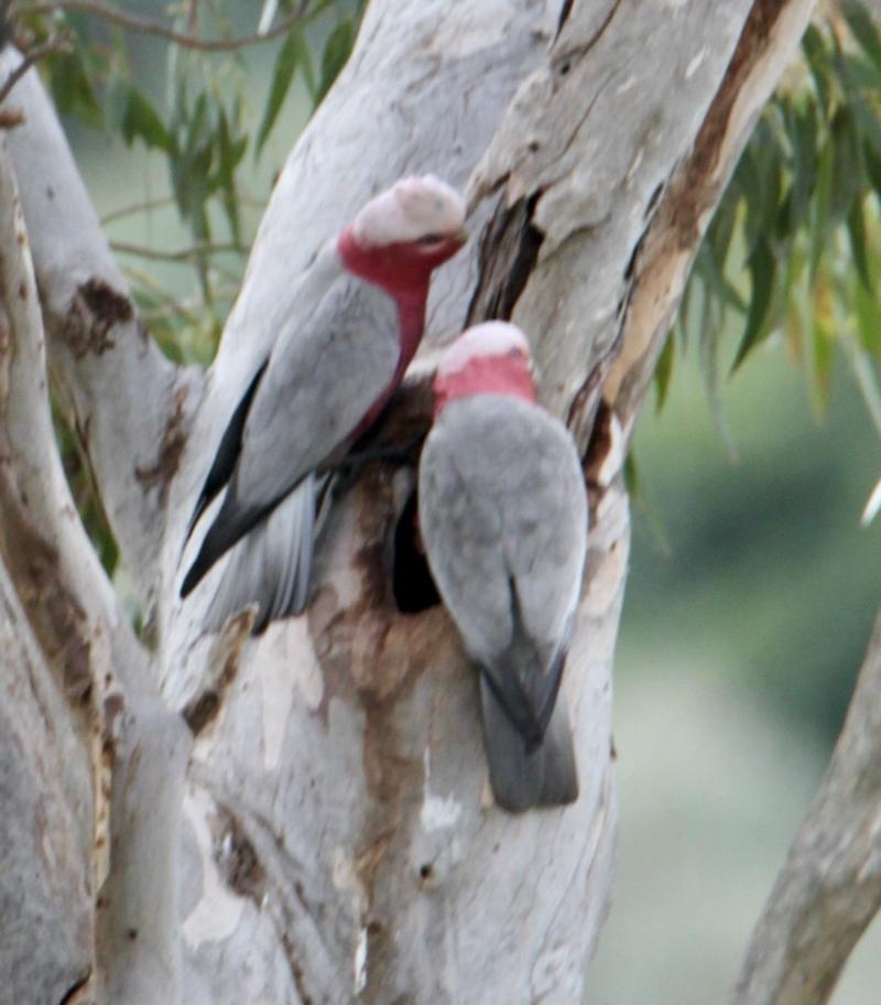 Eolophus roseicapillus at Springdale Heights, NSW - 18 Jul 2021