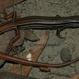 Ctenotus taeniolatus at suppressed - 22 Aug 2006