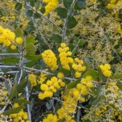 Acacia podalyriifolia (Queensland Silver Wattle) at East Albury, NSW - 19 Jul 2021 by Darcy
