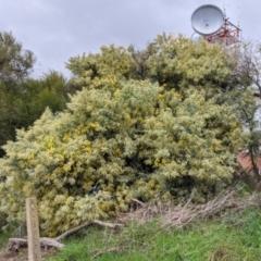 Acacia podalyriifolia at East Albury, NSW - 19 Jul 2021