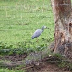 Egretta novaehollandiae (White-faced Heron) at Wirlinga, NSW - 19 Jul 2021 by Darcy