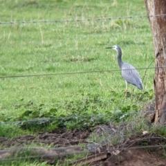 Egretta novaehollandiae at Wirlinga, NSW - 19 Jul 2021