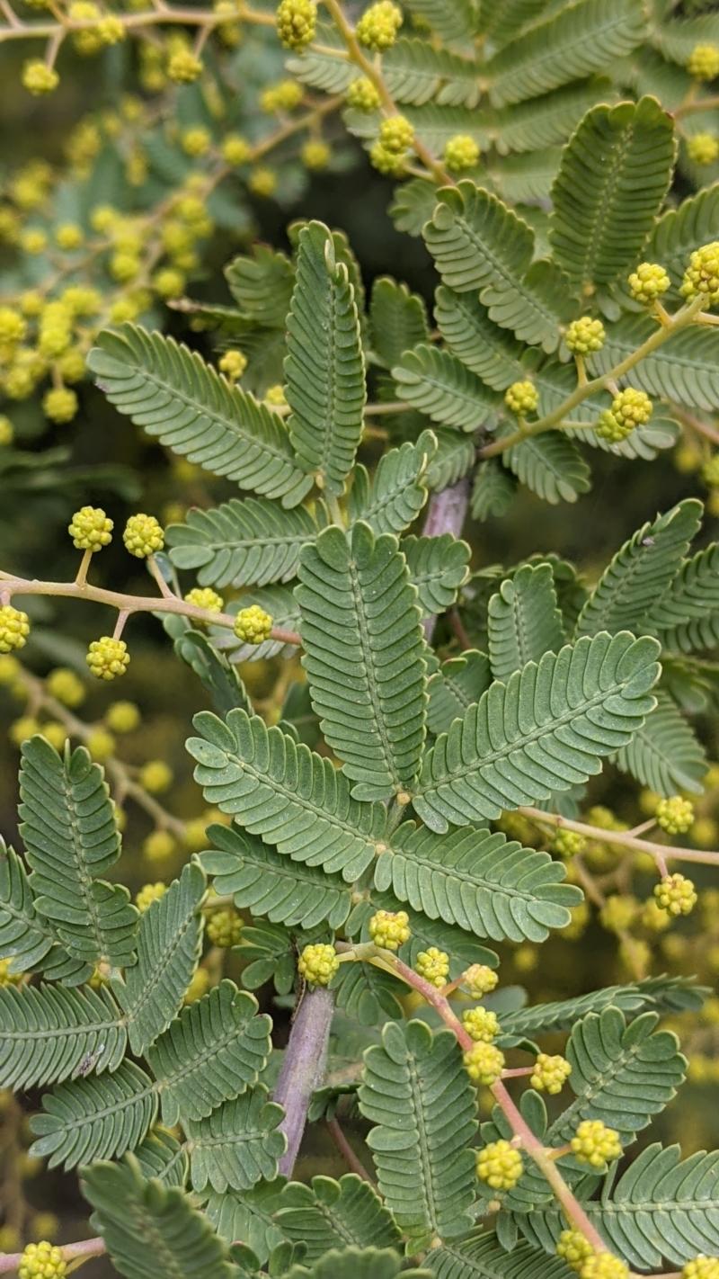 Acacia baileyeana X Acacia decurrens at Thurgoona, NSW - 19 Jul 2021