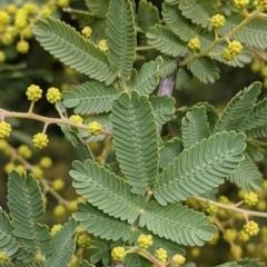 Acacia baileyeana X Acacia decurrens (Hybrid of Cootamundra and Green wattles) at Thurgoona, NSW - 19 Jul 2021 by Darcy