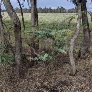 Acacia baileyana at Thurgoona, NSW - 19 Jul 2021