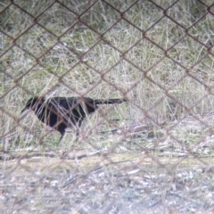 Corcorax melanorhamphos (White-winged Chough) at Thurgoona, NSW - 19 Jul 2021 by Darcy