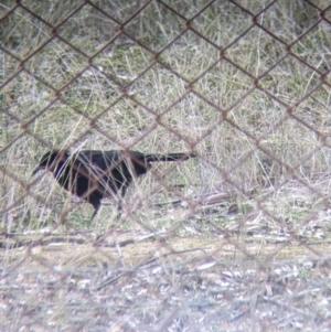 Corcorax melanorhamphos at Thurgoona, NSW - 19 Jul 2021