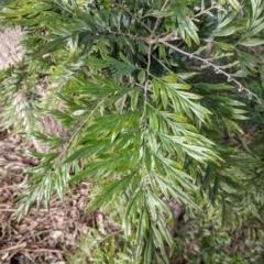 Grevillea robusta (Silky Oak) at Thurgoona, NSW - 19 Jul 2021 by Darcy