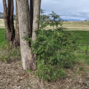Grevillea robusta at Thurgoona, NSW - 19 Jul 2021