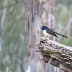 Rhipidura leucophrys (Willie Wagtail) at Lake Hume Village, NSW - 19 Jul 2021 by Darcy
