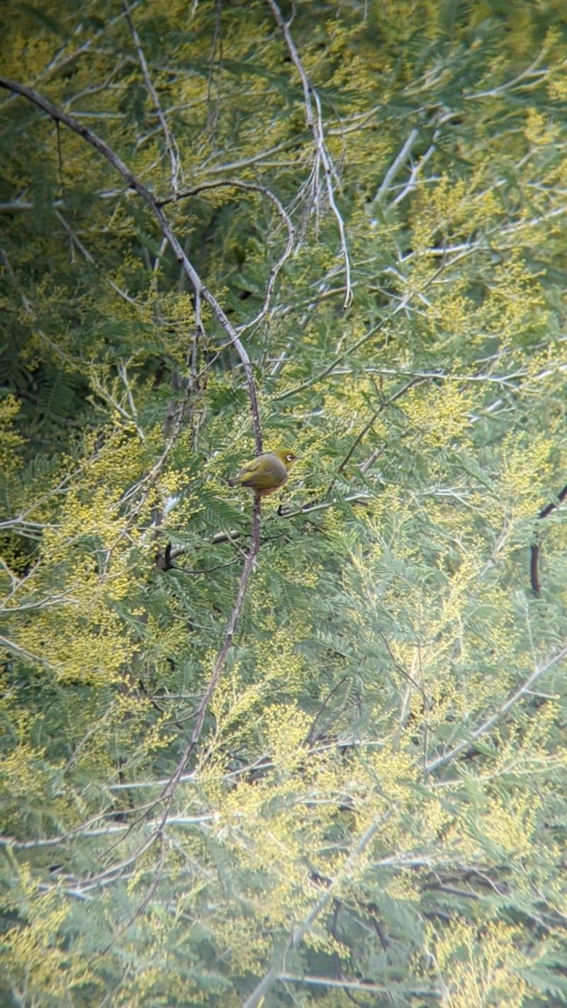 Zosterops lateralis at Lake Hume Village, NSW - 19 Jul 2021