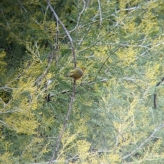 Zosterops lateralis (Silvereye) at Lake Hume Village, NSW - 19 Jul 2021 by Darcy
