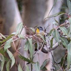 Pardalotus punctatus (Spotted Pardalote) at Lake Hume Village, NSW - 19 Jul 2021 by Darcy