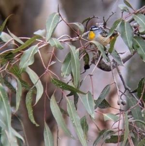 Pardalotus punctatus at Lake Hume Village, NSW - 19 Jul 2021