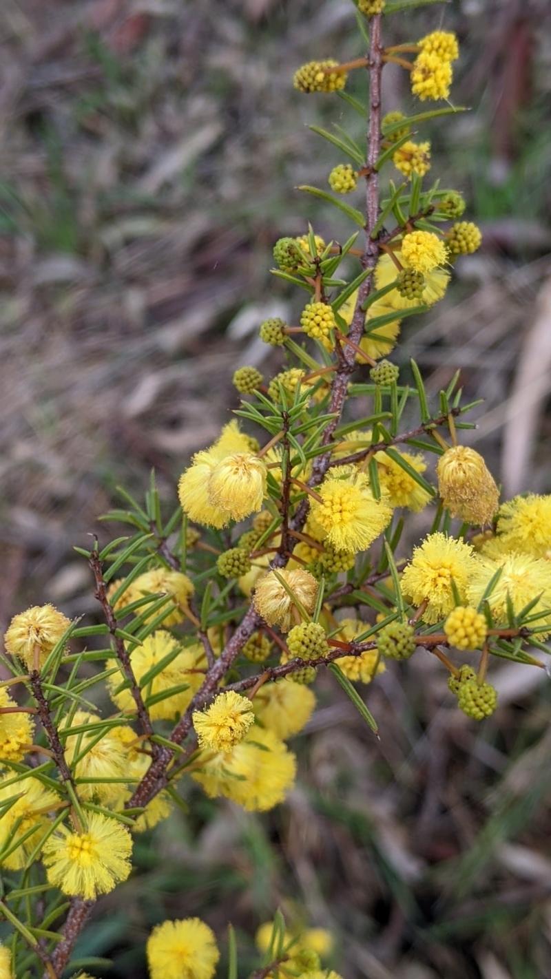 Acacia siculiformis at Lake Hume Village, NSW - 19 Jul 2021