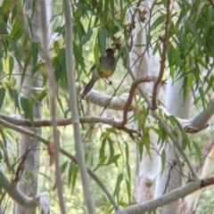 Anthochaera carunculata (Red Wattlebird) at Lake Hume Village, NSW - 19 Jul 2021 by Darcy