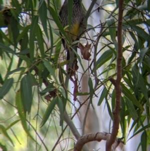 Anthochaera carunculata at Lake Hume Village, NSW - 19 Jul 2021