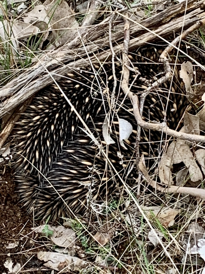 Tachyglossus aculeatus at Table Top, NSW - 19 Jul 2021