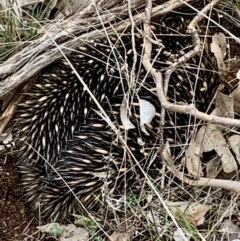 Tachyglossus aculeatus (Short-beaked Echidna) at Table Top, NSW - 19 Jul 2021 by PaulF