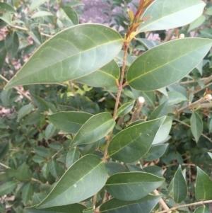 Ligustrum lucidum at Faulconbridge, NSW - 29 Sep 2020