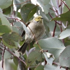 Ptilotula penicillata (White-plumed Honeyeater) at Table Top, NSW - 19 Jul 2021 by PaulF