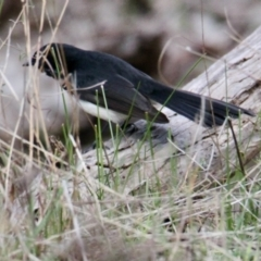 Rhipidura leucophrys (Willie Wagtail) at Table Top, NSW - 19 Jul 2021 by PaulF