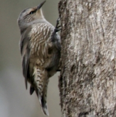 Climacteris picumnus (Brown Treecreeper) at Table Top, NSW - 19 Jul 2021 by PaulF