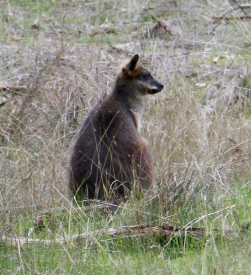 Wallabia bicolor at Table Top, NSW - 19 Jul 2021