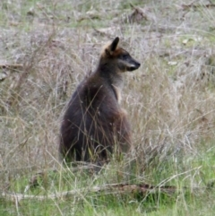 Wallabia bicolor (Swamp Wallaby) at Table Top, NSW - 19 Jul 2021 by PaulF