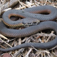 Austrelaps ramsayi (Highlands Copperhead) at Wentworth Falls, NSW - 7 Jan 2010 by PatrickCampbell
