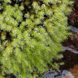 Bartramiaceae at Acton, ACT - 20 Jul 2021