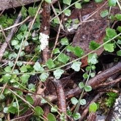 Asplenium flabellifolium (Necklace fern) at Acton, ACT - 20 Jul 2021 by tpreston