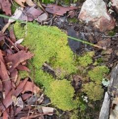 Cladia aggregata (A lichen) at Acton, ACT - 20 Jul 2021 by tpreston
