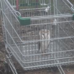 Tyto alba (Barn Owl) at Thurgoona, NSW - 20 Jul 2021 by ChrisAllen