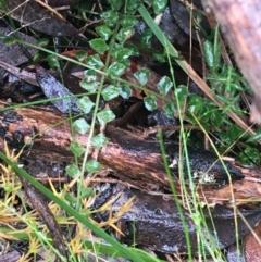Asplenium flabellifolium (Necklace fern) at Acton, ACT - 20 Jul 2021 by Ned_Johnston