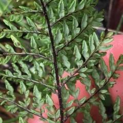 Cheilanthes austrotenuifolia at Acton, ACT - 20 Jul 2021