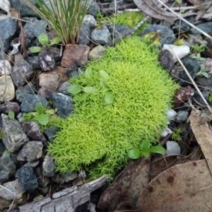 Pottiaceae at Bungendore, NSW - 10 Jul 2021