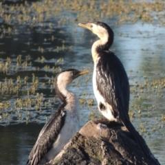 Microcarbo melanoleucos (Little Pied Cormorant) at Isabella Plains, ACT - 4 Apr 2021 by michaelb