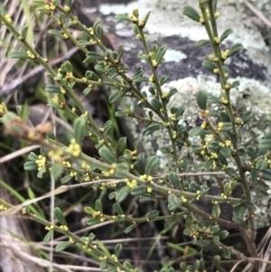 Phyllanthus hirtellus at Acton, ACT - 13 Jul 2021
