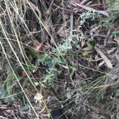Pimelea linifolia subsp. linifolia at Acton, ACT - 13 Jul 2021