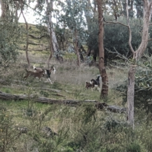 Capra hircus at Springdale Heights, NSW - 21 Jul 2021