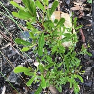 Dodonaea viscosa at Acton, ACT - 20 Jul 2021