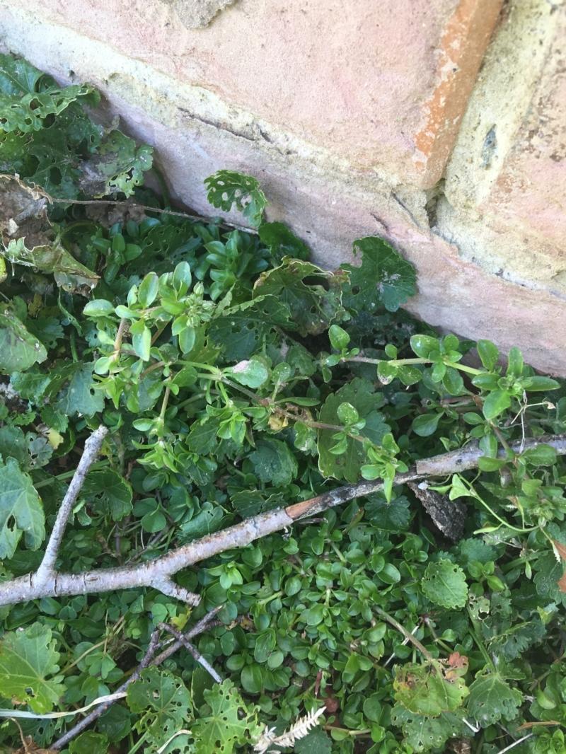 Polycarpon tetraphyllum at Lyneham, ACT - 21 Jul 2021