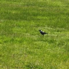 Cracticus tibicen (Australian Magpie) at Splitters Creek, NSW - 21 Jul 2021 by Darcy