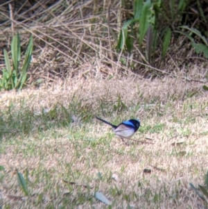 Malurus cyaneus at Splitters Creek, NSW - 21 Jul 2021
